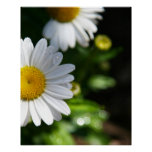 Daisy Flowers, Droplets Posters