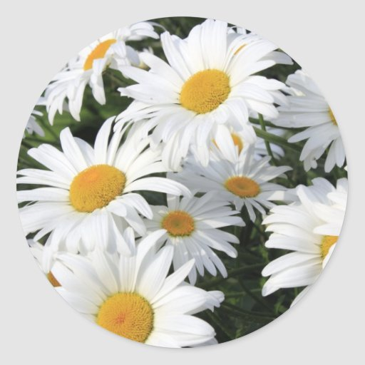 Daisy Flowers Growing White Round Stickers