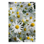 Daisy flowers posters