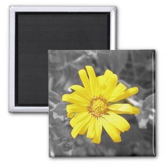 Daisy in Yellow, Black and White 2 Inch Square Magnet