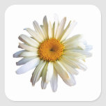 Daisy Looking Up Square Stickers
