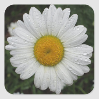 Daisy May Queen Water Square Sticker