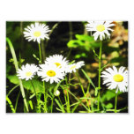 Daisy Photograph