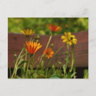 Daisy-Postcard postcard