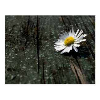 Daisy Solitude Postcard