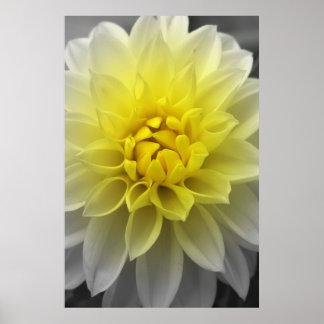 Dalia blanca amarilla impresiones