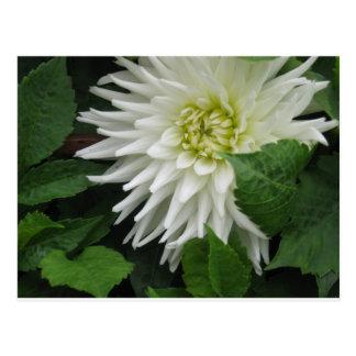 Dalia blanca - sola flor postal