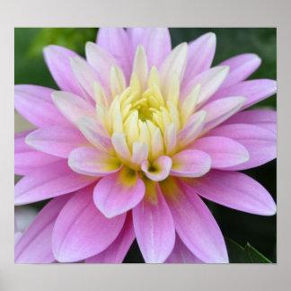 Dalia de la flor del zen poster