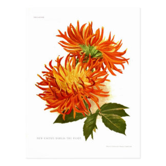 Dalia del cactus tarjetas postales