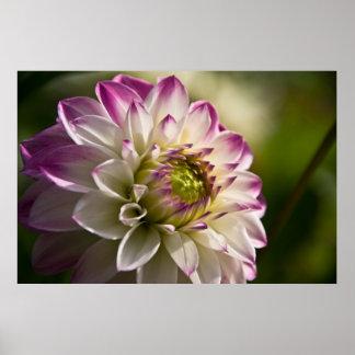 Dalia púrpura y blanca poster