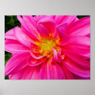 Dalia rosada brillante poster