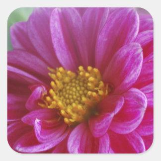 Dalia rosada del corazón pegatina cuadrada