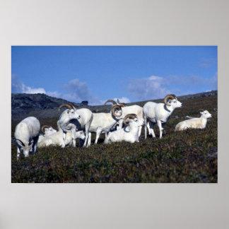 Dall sheep (Band of bachelor rams) Poster