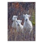 Dall Sheep Ewe with her Lambs at Denali NP Greeting Card