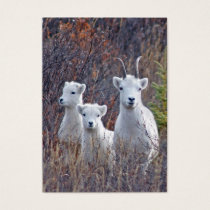 Dall Sheep Ewe with Lambs Wildlife Guide Card