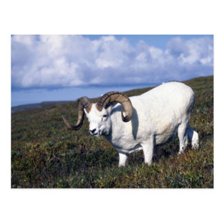 Dall sheep (Large ram grazing) Post Cards