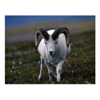 Dall sheep (Large ram in murky alpine meadow) Post Card