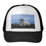 Dall sheep (Large ram lying down) Trucker Hat