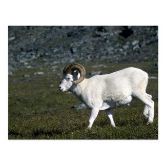 Dall sheep (Large ram) Postcards
