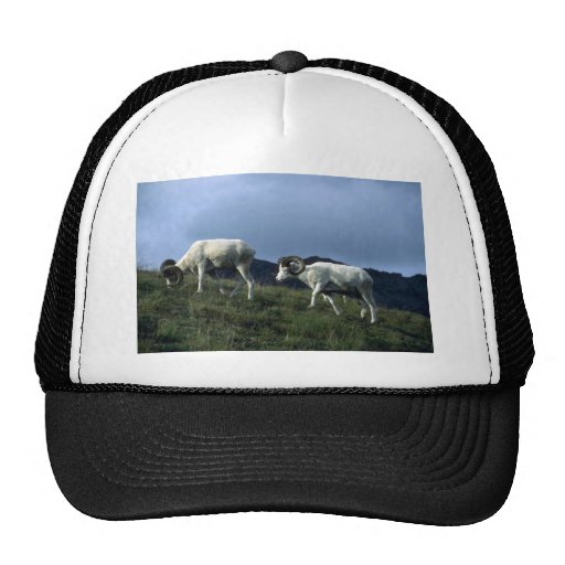 Dall sheep (Large rams) Hat