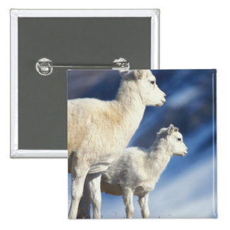 dall sheep, Ovis dalli, ewe and lamb on a Button