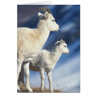 dall sheep, Ovis dalli, ewe and lamb on a Card
