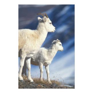 dall sheep, Ovis dalli, ewe and lamb on a Photo Print