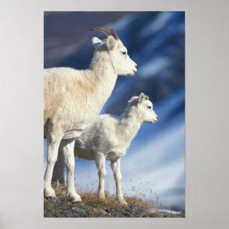 dall sheep, Ovis dalli, ewe and lamb on a Poster