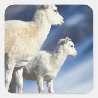 dall sheep, Ovis dalli, ewe and lamb on a Square Sticker