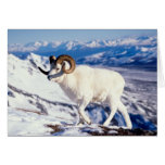 dall sheep, Ovis dalli, full curl ram on a 2 Greeting Card