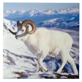 dall sheep, Ovis dalli, full curl ram on a 2 Ceramic Tile