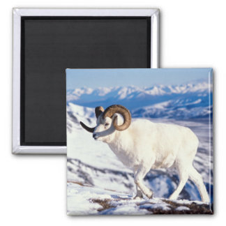 dall sheep, Ovis dalli, full curl ram on a 2 2 Inch Square Magnet