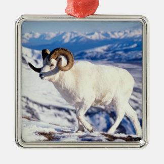 dall sheep, Ovis dalli, full curl ram on a 2 Metal Ornament