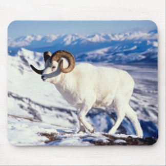 dall sheep, Ovis dalli, full curl ram on a 2 Mouse Pad