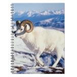 dall sheep, Ovis dalli, full curl ram on a 2 Note Books