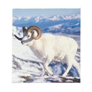 dall sheep, Ovis dalli, full curl ram on a 2 Notepad