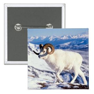 dall sheep, Ovis dalli, full curl ram on a 2 Pinback Button