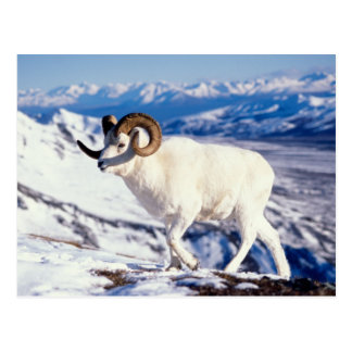 dall sheep, Ovis dalli, full curl ram on a 2 Postcard
