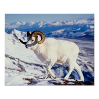 dall sheep, Ovis dalli, full curl ram on a 2 Poster
