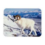 dall sheep, Ovis dalli, full curl ram on a 2 Flexible Magnet