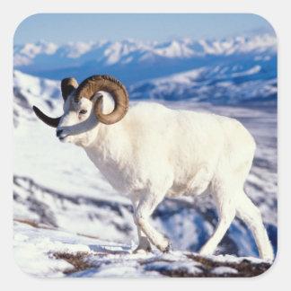 dall sheep, Ovis dalli, full curl ram on a 2 Square Sticker