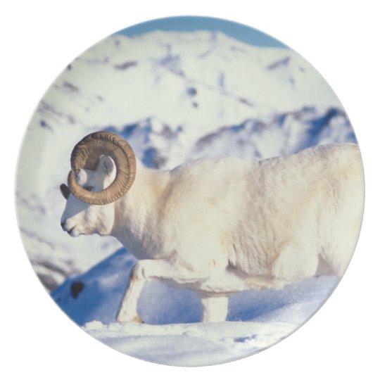 dall sheep, Ovis dalli, full curl ram on a Dinner Plate
