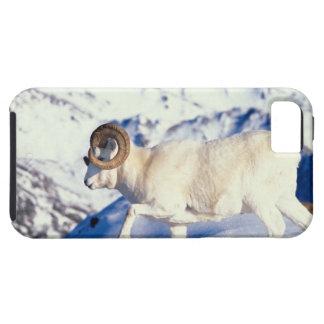 dall sheep, Ovis dalli, full curl ram on a iPhone SE/5/5s Case