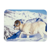 dall sheep, Ovis dalli, full curl ram on a Magnet