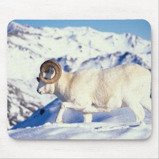 dall sheep, Ovis dalli, full curl ram on a Mouse Pad