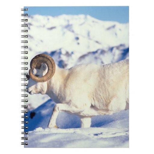 dall sheep, Ovis dalli, full curl ram on a Spiral Note Books