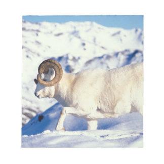 dall sheep, Ovis dalli, full curl ram on a Notepad