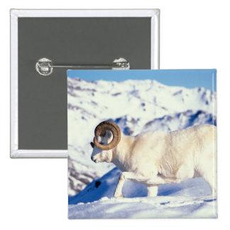dall sheep, Ovis dalli, full curl ram on a Pinback Button