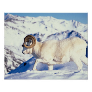 dall sheep, Ovis dalli, full curl ram on a Poster