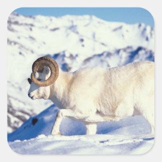 dall sheep, Ovis dalli, full curl ram on a Square Sticker